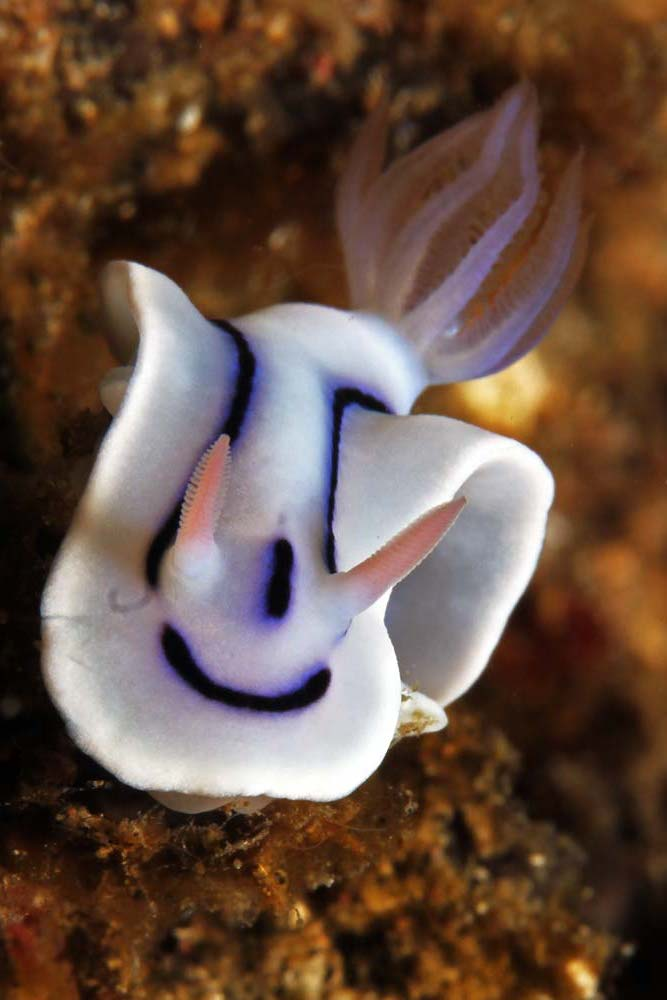 Loch's chromodoris (Chromodoris lochi)