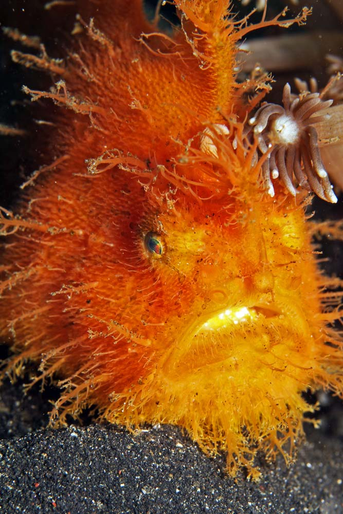 Hairy frogfish/Striared frogfish (Antennarius striatus)