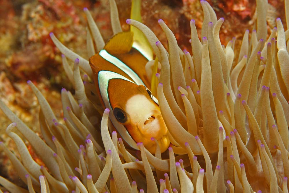 Clarcks anemonefish - orange variation (Amphiprion clarkii)
