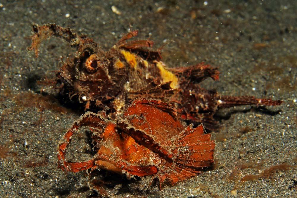 Ambon scorpionfish (Pteroidichthys amboinensis)