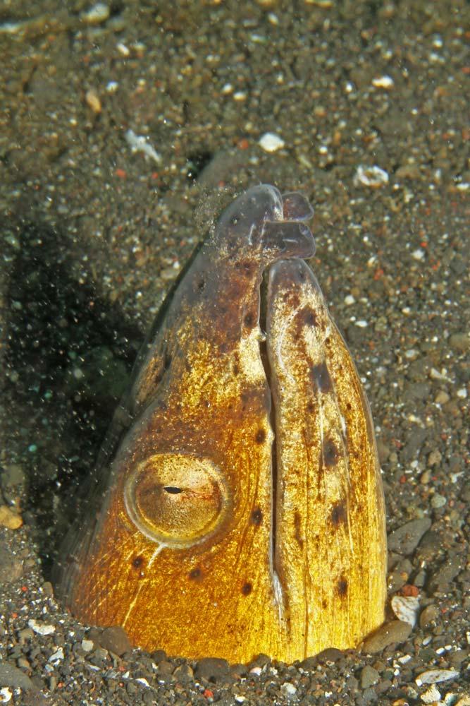 Blacksaddle snake eel (Ophichthys cephalozona)