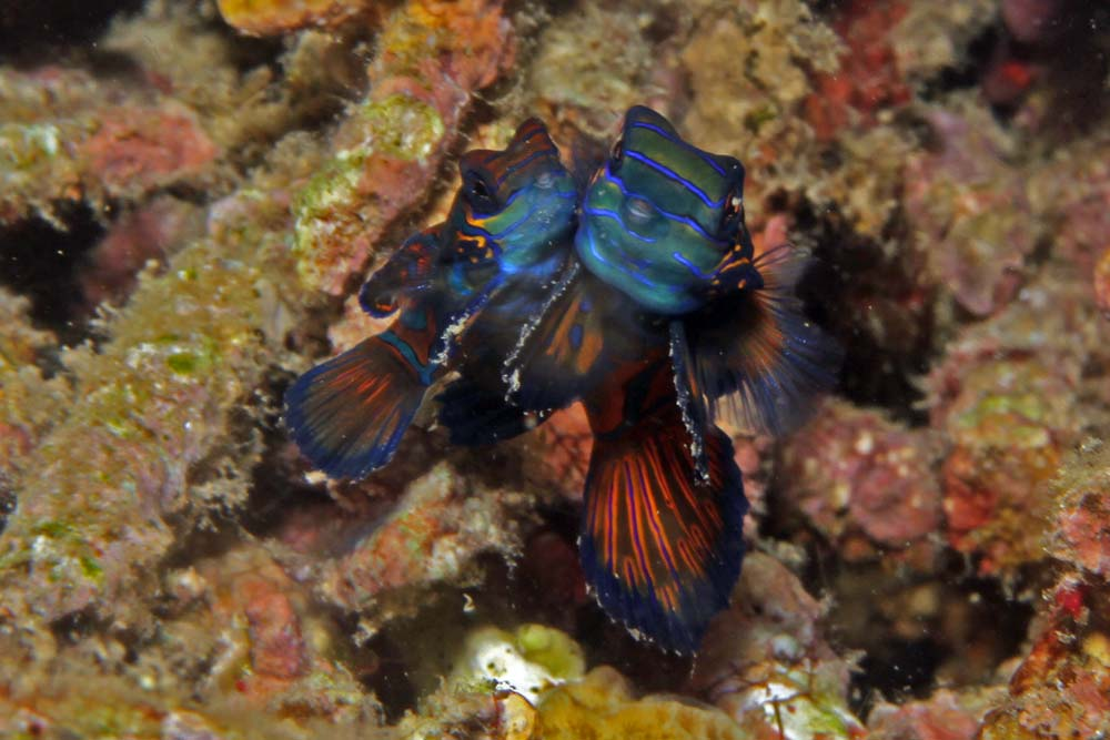 Mandarinfish (Synchiropus splendidus)
