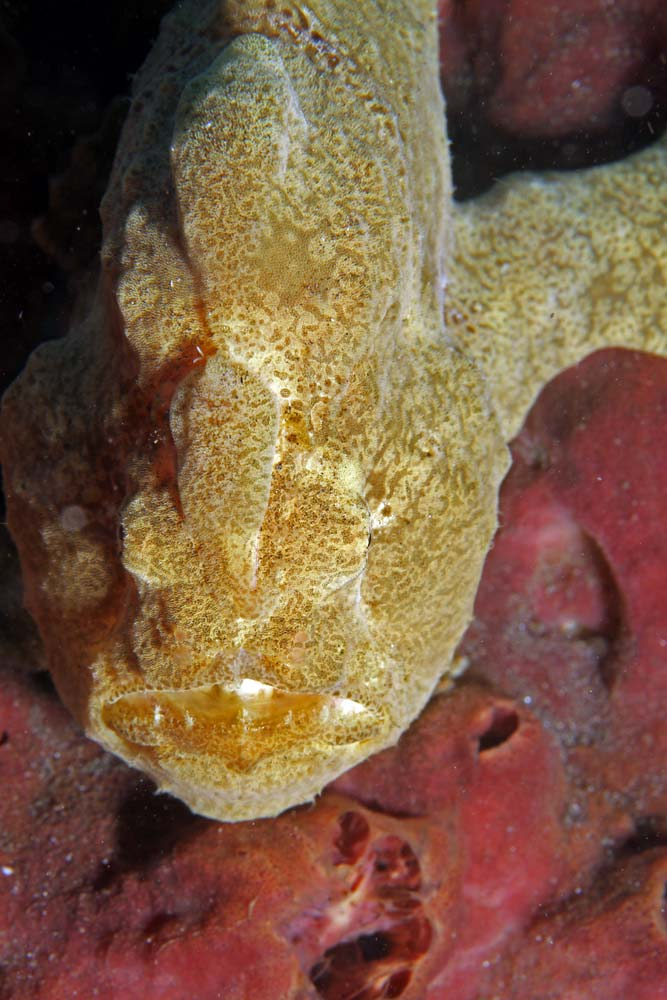 Giant frogfish (Antennarius commersoni)