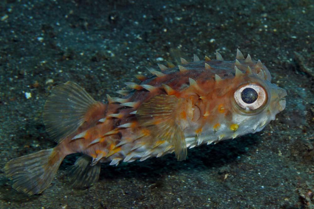 Orbicular burrfish (Ciclychthys orbicular)