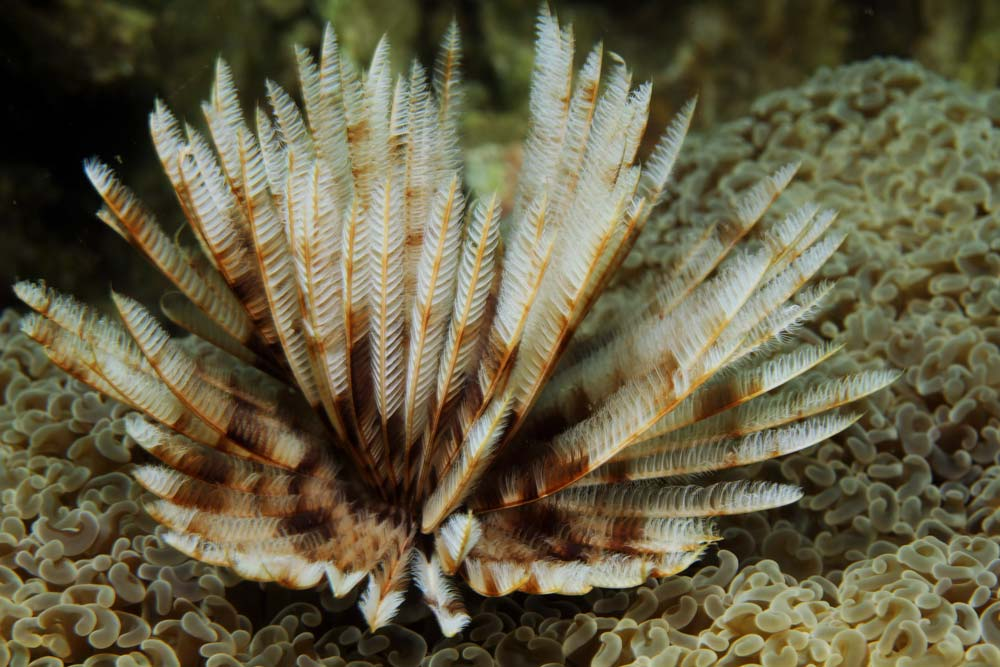 Feather duster worm (Bispira sp.1)