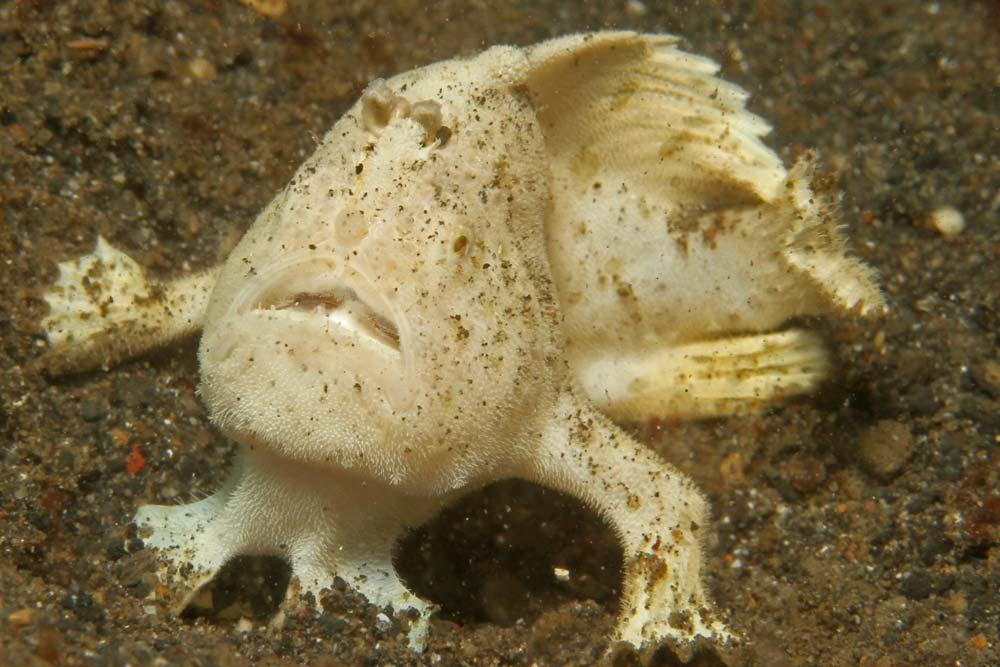 Painted frogfish - withe phase (Antennarius pictus)
