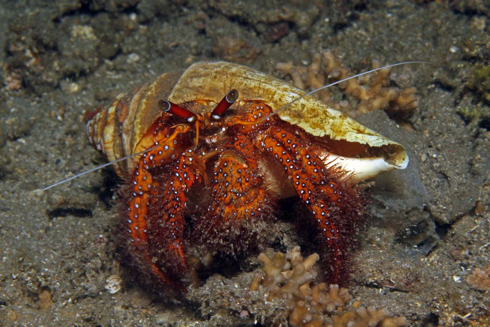 White-spotted hermit crab (Daranus megistos)