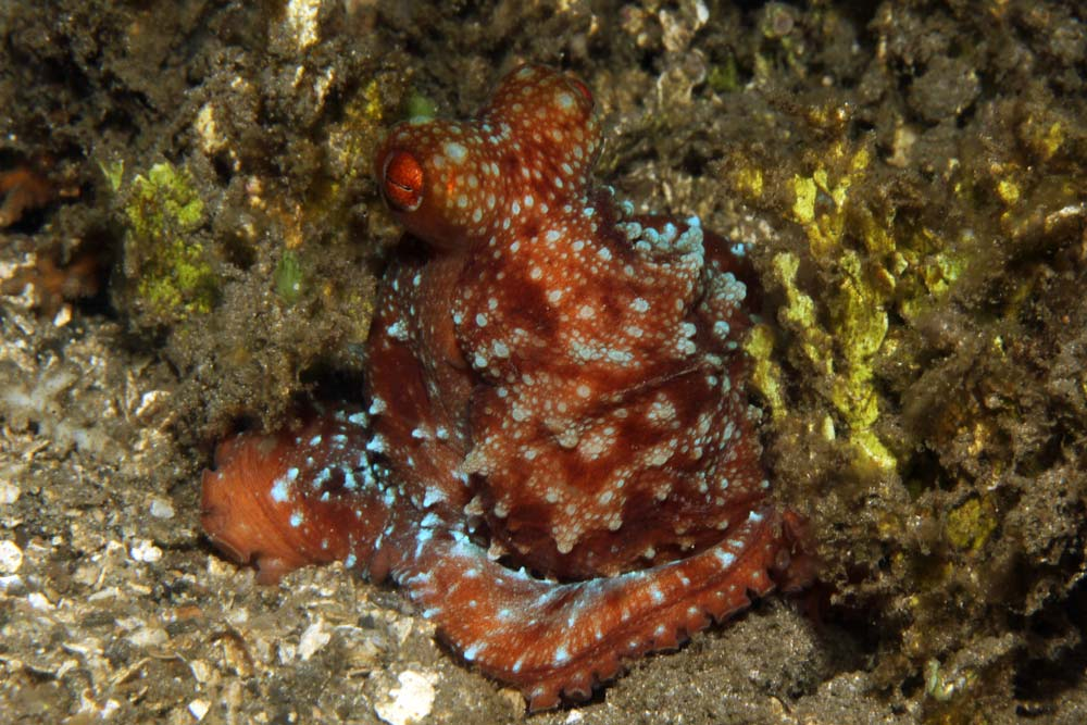 Starry night octopus (Callistoctopus luteus)