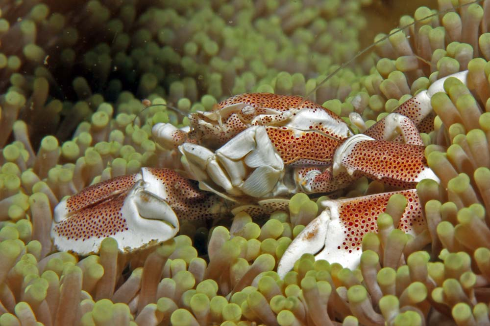 Spotted porcelan crab (Neopetrolisthes maculatus)