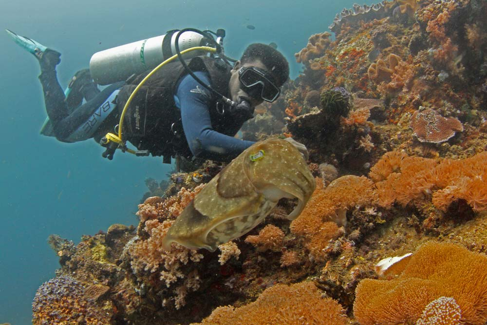 Dive guide Demos with Broadclub cuttlefish (Sepia latimanus)