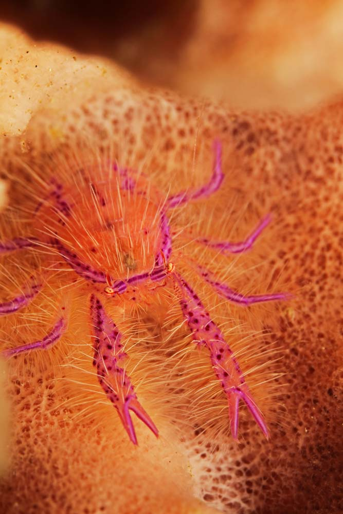 Hairy squat lobster (Lauriea siagiani)