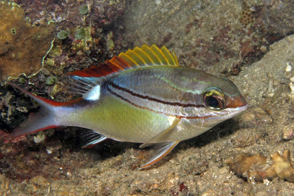 Bridled monocle bream (Scolosis bilineatus)