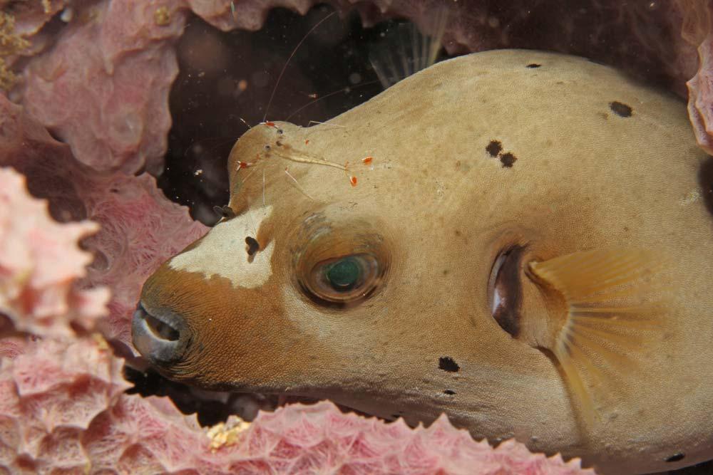 Blackspotted puffer (Arothron nigropunctatus) with ?