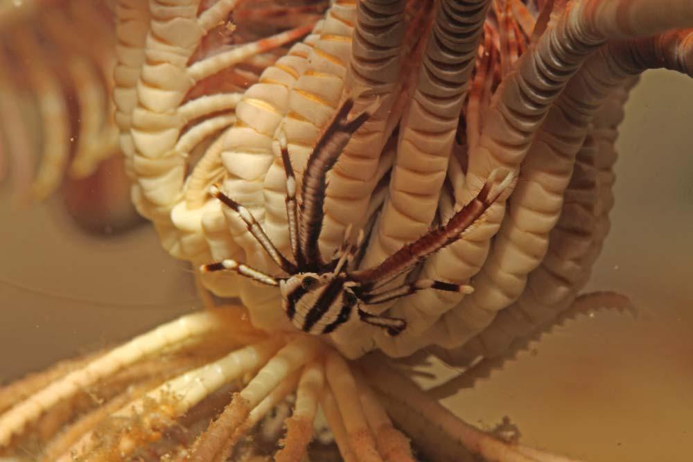 Elegant crinoid squat lobster (Allogalathea elegans ) 2 cm