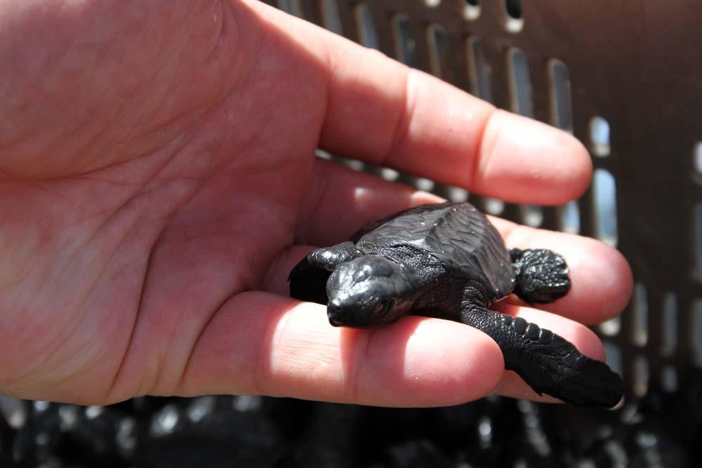 1 dag oud schildpadje vlak voor hij in zee uitgezet word.