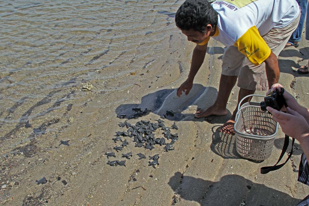Het uitzetten van de schildpadjes