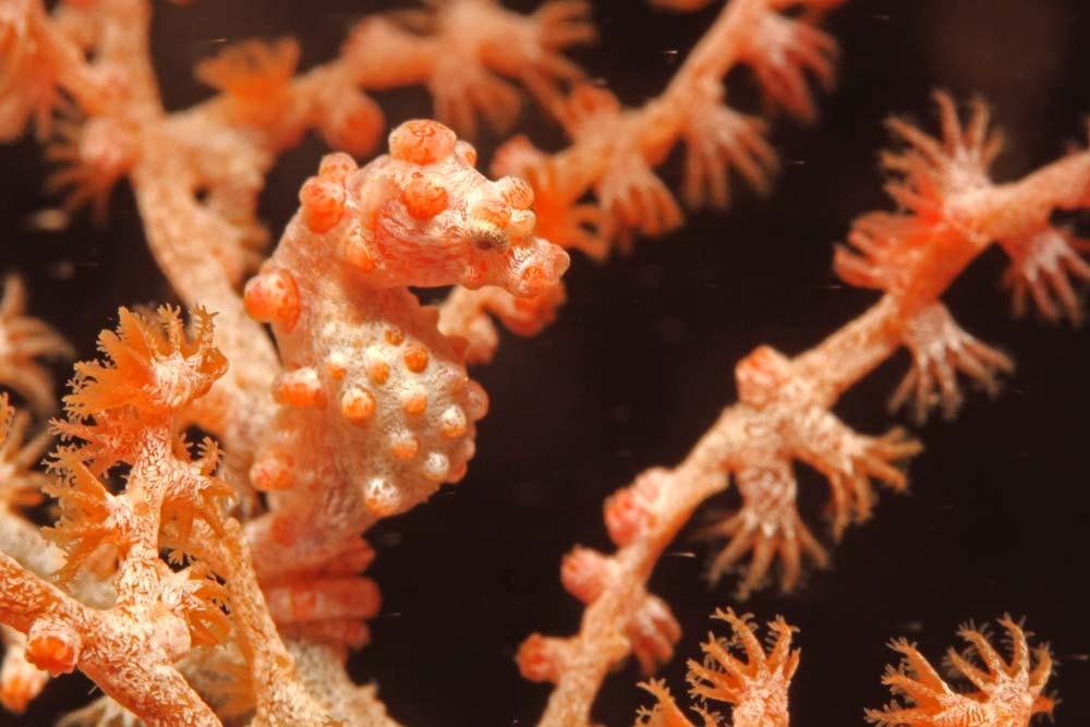 Pygmy seahorse (Hippocampus bargibanti) 1,5 - 2 cm